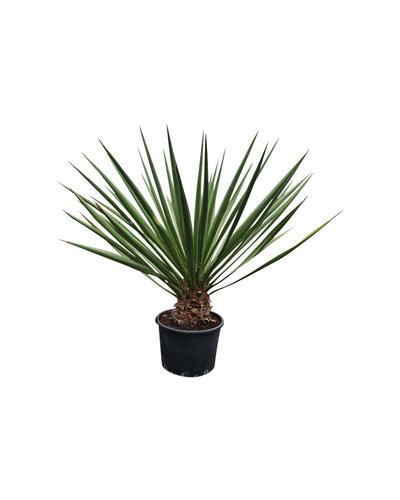 Yucca faxoniana (YFA-16)
