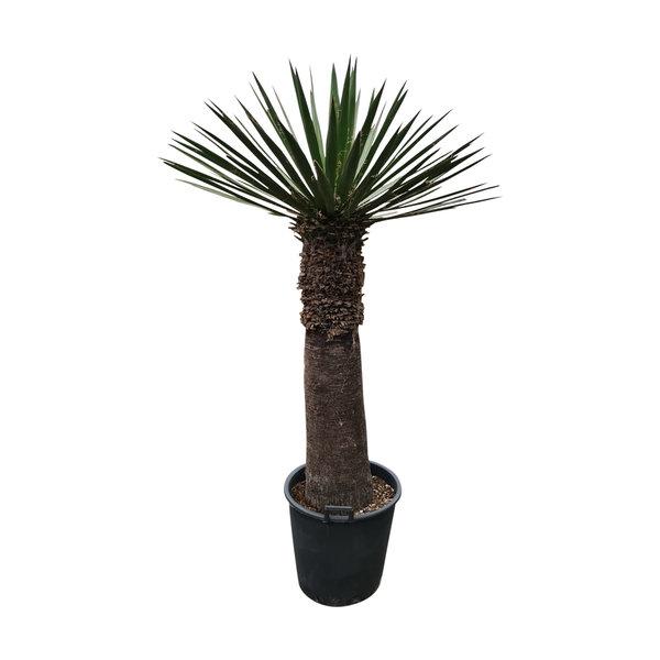 Yucca faxoniana (YFA-15)