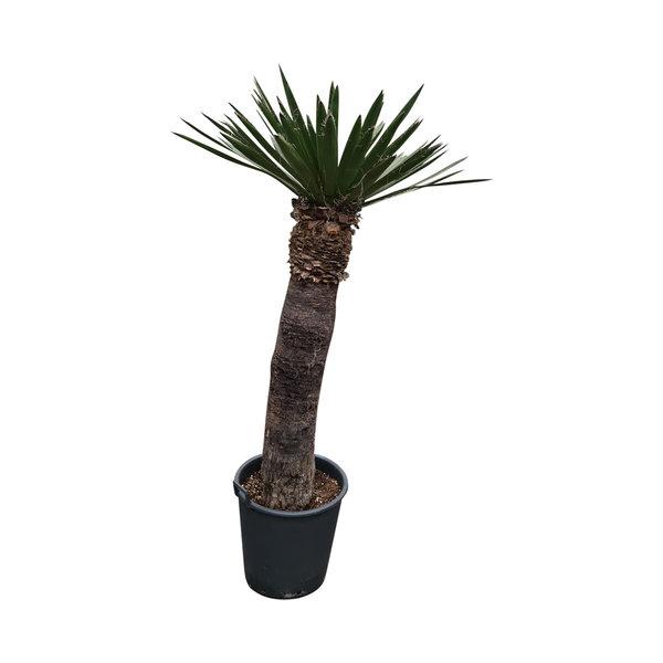 Yucca faxoniana (YFA-14)