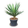 "Yucca gloriosa ""Lone star"" (pot 35 liter)"