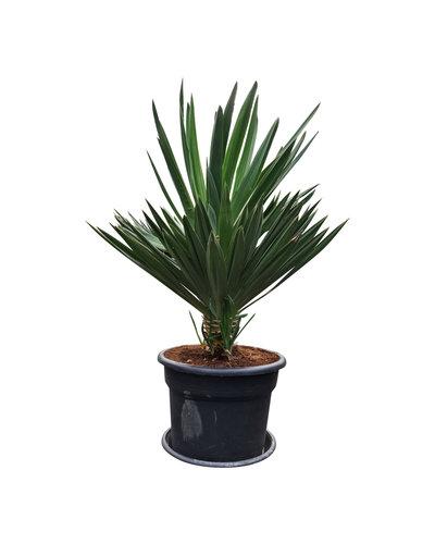 "Yucca gloriosa ""Lone star"" (pot 45 liter)"