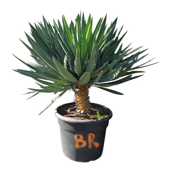 "Yucca gloriosa ""Lone star"" (pot 65 liter)"