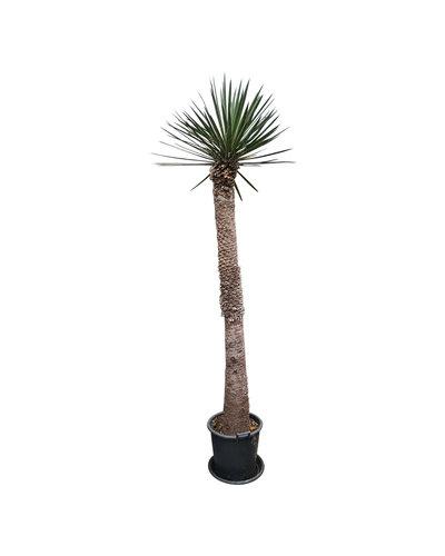 Yucca filifera australis (YFS-5)