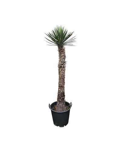Yucca filifera australis (YFS-4)