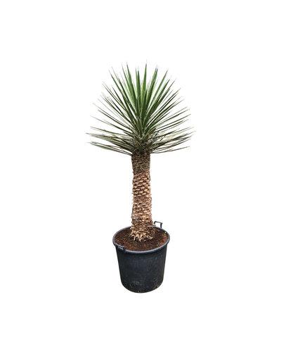 Yucca filifera australis (YFS-3)