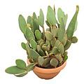 """Opuntia microdasys """"La vila"""" (schaal 55 cm)"""