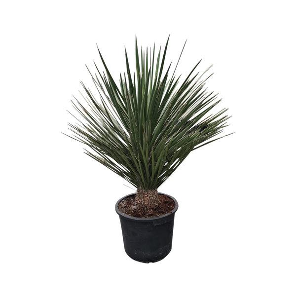 Yucca potosina 60-70 cm