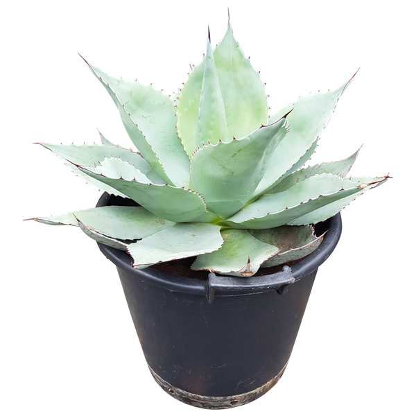 Agave ovatifolia (pot 35 liter)