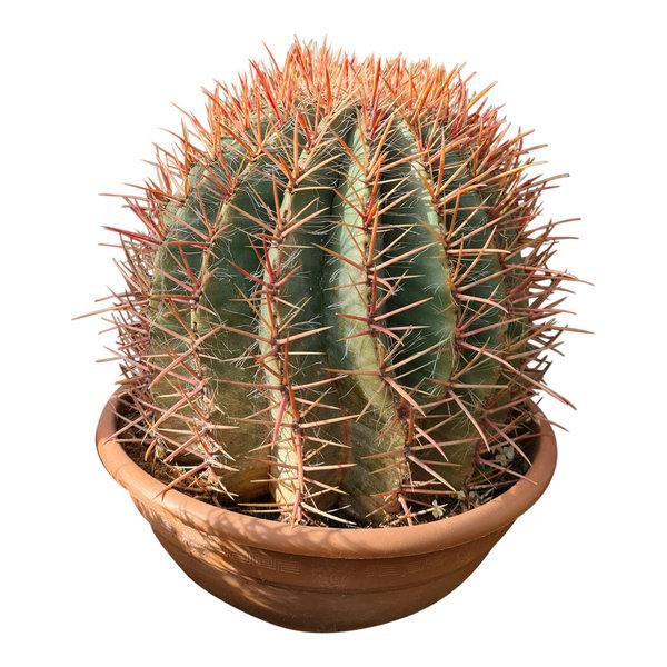 Ferocactus stainesii (schaal 40 cm)