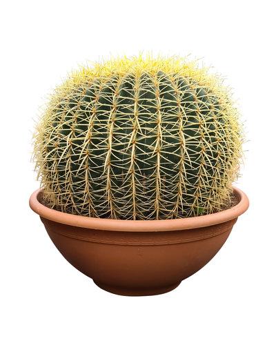 Echinocactus grusonii (schaal 50 cm)