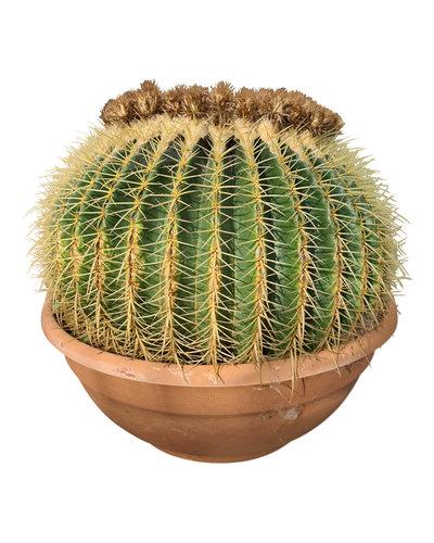 Echinocactus grusonii (schaal 60 cm)