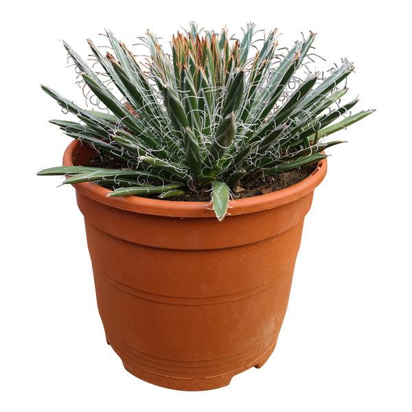 Agave filifera (pot C-22)