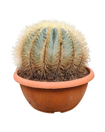 Ferocactus glaucescens (schaal 30 cm)