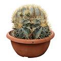 Ferocactus glaucescens (schaal 35 cm)