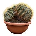 Ferocactus glaucescens (schaal 40 cm)