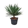 "Yucca gloriosa ""Lone star"" (pot 110 liter)"