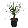 Yucca mixtecana (pot 35 liter)