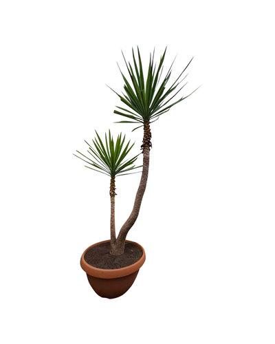 """Yucca elephantipes """"Multitrunc"""" (schaal 90 cm)"""