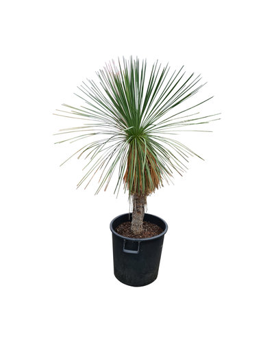 Yucca linearifolia (YLS-4)