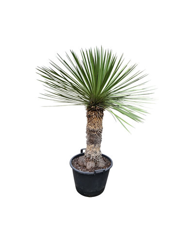 Yucca queretaroensis x filifera (YQF-1)