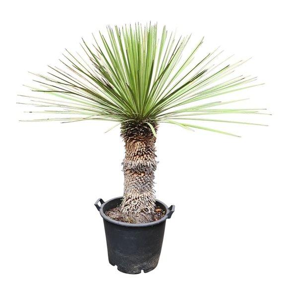 Yucca queretaroensis x filifera (YQF-2)
