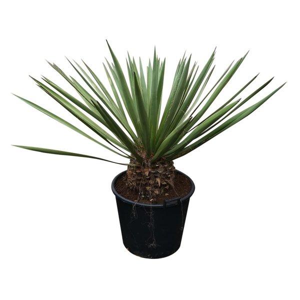 Yucca faxoniana (YFA-18)