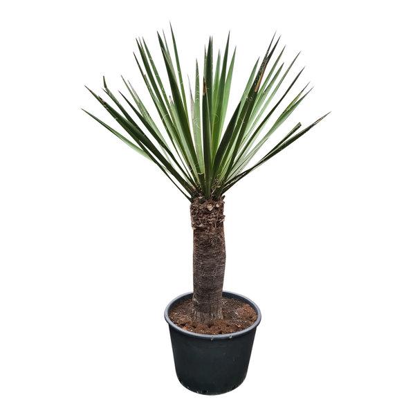 Yucca faxoniana (YFA-12)
