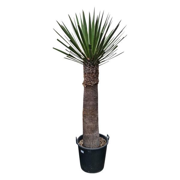 Yucca faxoniana (YFA-9)