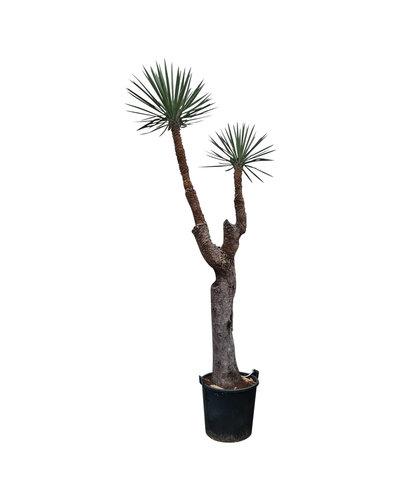 "Yucca filifera ""Multihead"" (YFM-1)"