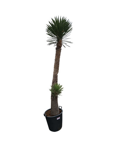"Yucca filifera ""Multihead""  (YFM-4)"