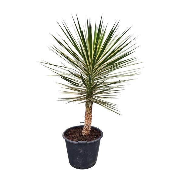 "Yucca aloifolia ""Marginata"" 125-150 cm"