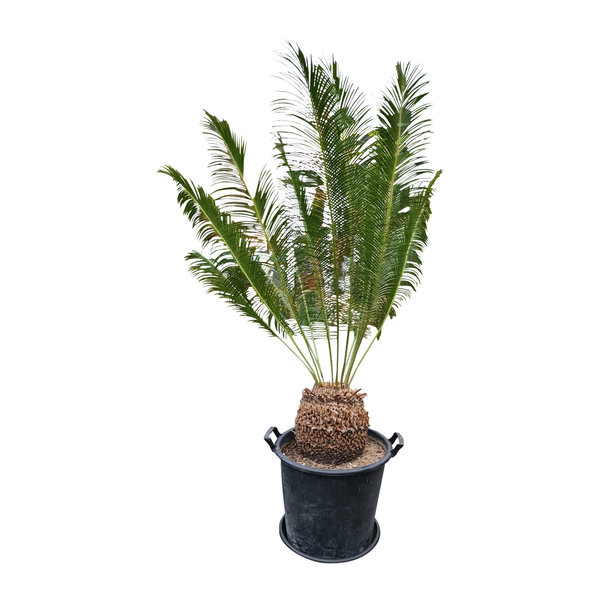 Cycas panzhihuaensis (CPA-2)