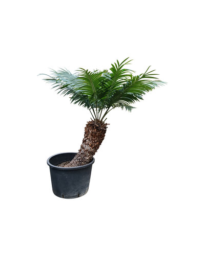 Cycas thouarsii 90-100 cm