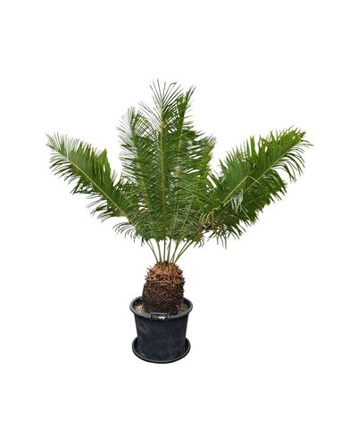 Cycas panzhihuaensis (CPA-1)