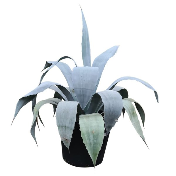 Agave franzosinii XL (pot 70 liter)
