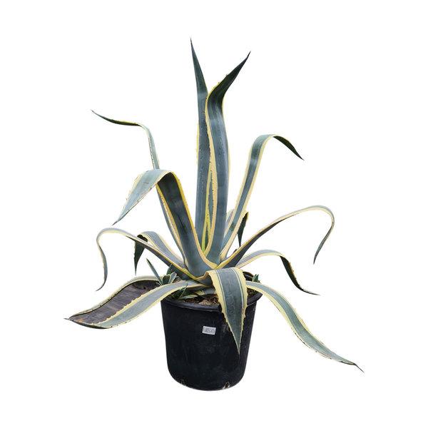Agave variegata (AVA-1)