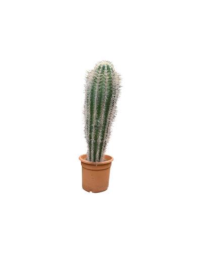 Pachycereus pringlei 70 cm