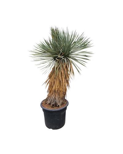 """Yucca rostrata """"Hidra"""" (NO:38)"""
