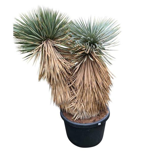"""Yucca rostrata """"Hidra"""" (NO:14)"""