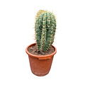 Echinopsis pasacana 40-50 cm