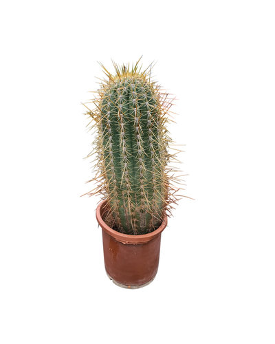 Echinopsis pasacana 50-60 cm