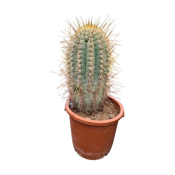 Echinopsis terschekii 40-50 cm