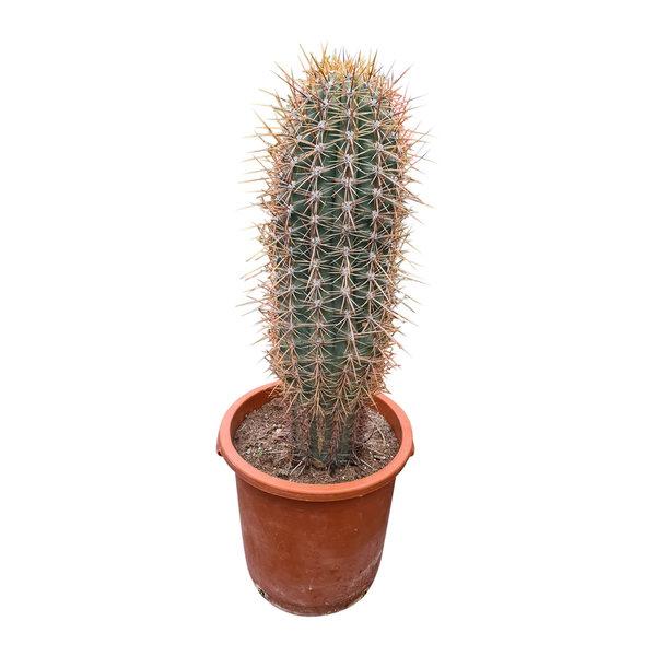 Echinopsis terschekii 50-60 cm