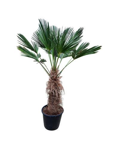 Trachycarpus wagnerianus (stamhoogte 80-90 cm)