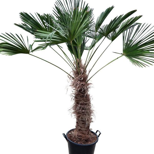Trachycarpus wagnerianus (stamhoogte 90-100 cm)