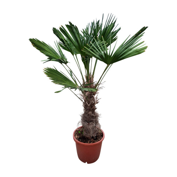 Trachycarpus wagnerianus (stamhoogte70-80 cm )