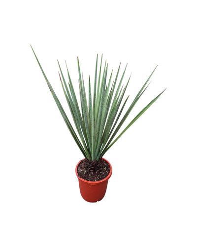 Yucca baccata 80-90 cm