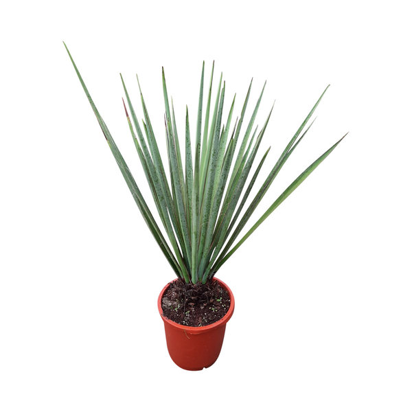 Yucca baccata 90-100 cm
