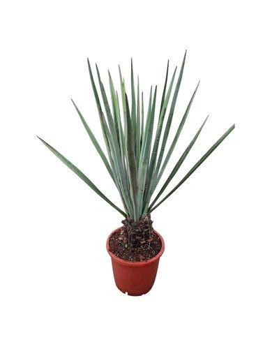 Yucca baccata 100-110 cm