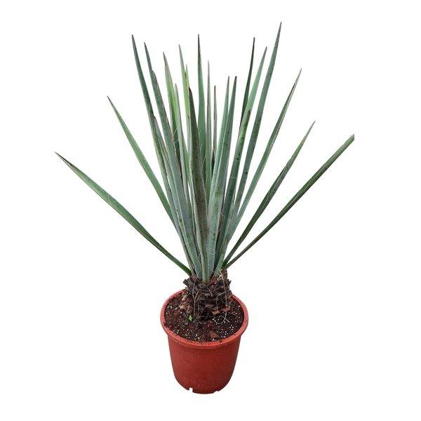 Yucca baccata 110-120 cm